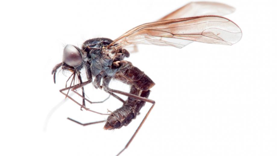 Африканская муха-жужжала
