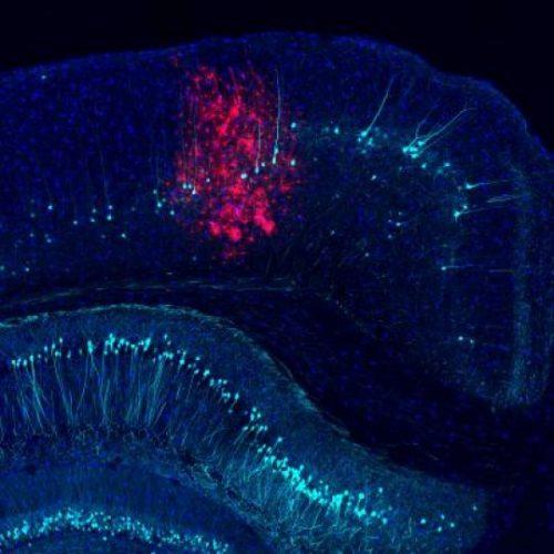 Мозг мыши