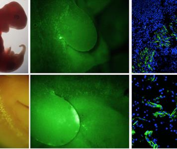 Выращивание человеческих органов ворганизме животных— сделан первый шаг