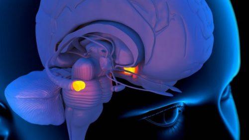 Миндалевидное тело или амигдала— это небольшое парное образование ввисочных долях мозга, играющее ключевую роль вформировании эмоций.