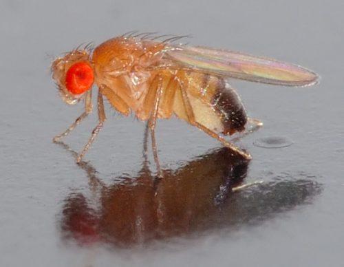 Плодовая мушка Drosophila melanogaster.