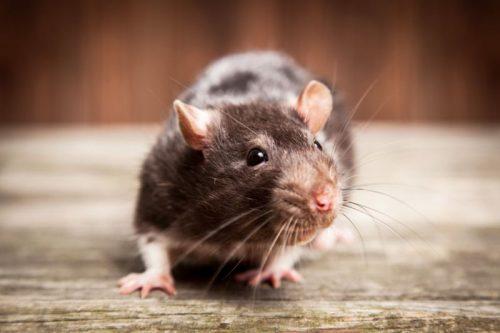 Чаще всего вирусом Сеул заражаются серые (или амбарные) крысы. Как правило, при этом уживотных непоявляется никаких симптомов заболевания.