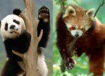 Большая и Малая панды.
