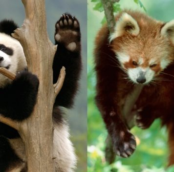 Большие ималые панды независимо друг от друга отрастили фальшивые пальцы