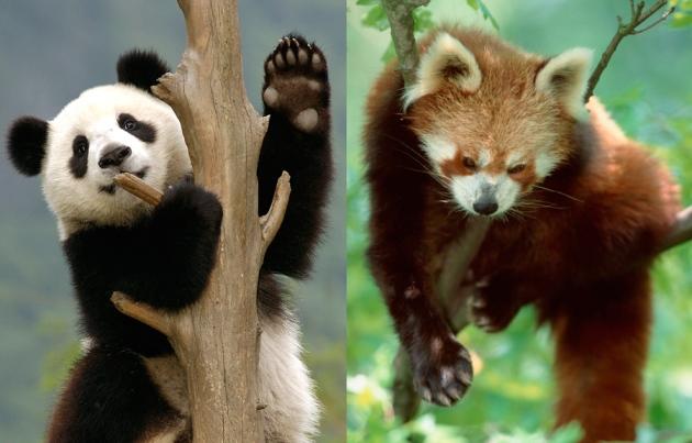 Большая ималая панды.