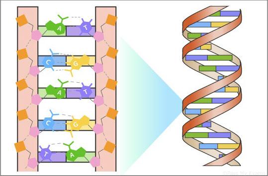 """Код ДНК содержит всего 4 """"буквы"""" вдвух возможных сочетаниях. До недавнего времени уэтого правила исключений небыло."""