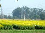 ГМ-горчица на поле Делийского университета. Растёт себе и не знает, что вокруг неё жители страны ломают копья.