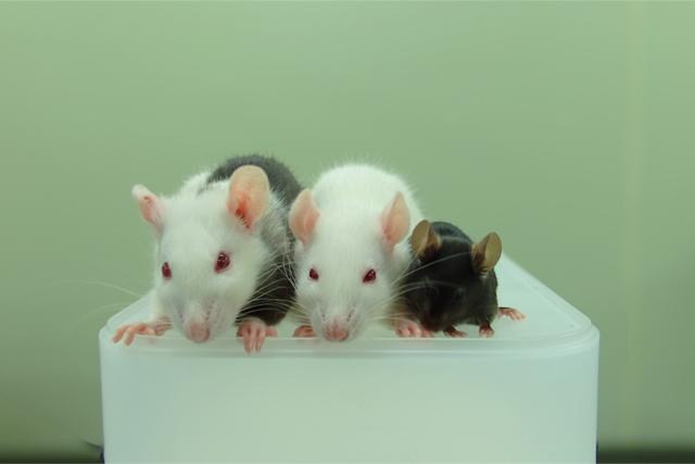 Справа налево: мышь, крыса икрыса, которой были введены плюрипотентные клетки мыши.