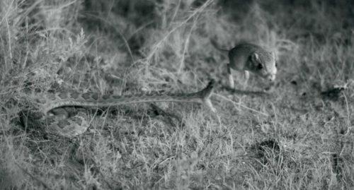 Змеи вида Crotalus scutulatus устраивают засаду, ждут, когда мимо пробежит грызун, азатем бросаются нанего. Именно этот момент исняли учёные.