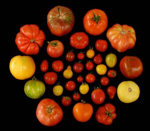 В ходе селекции помидоры утратили некоторые гены. Современные томаты крупнее диких предшественников иболее старых сортов, но именее сладкие.