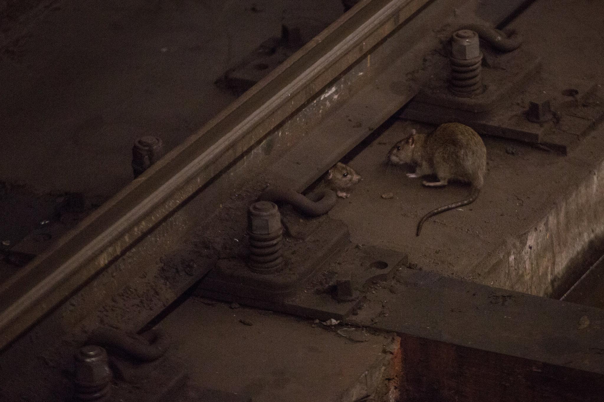 Крысы являются переносчиками многих инфекционных заболеваний, втом числе— лептоспироза, бактериальной инфекции, иногда приводящей клетальному исходу.
