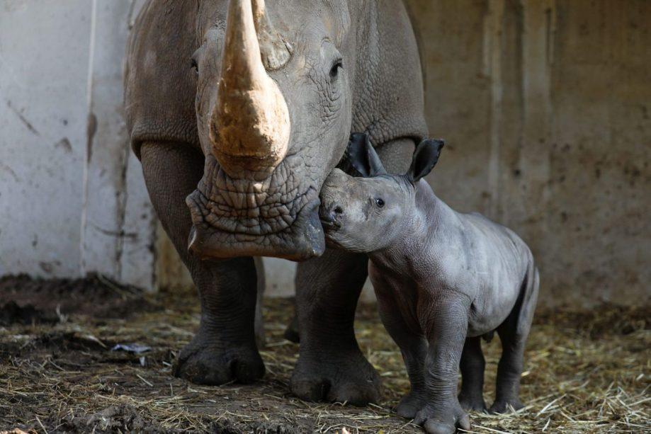 Носороги Рианна иРами