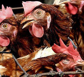 Эксперты обеспокоены растущим риском пандемии птичьего гриппа