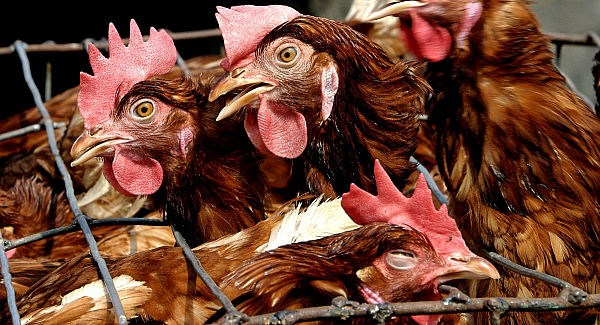 За последние 3 месяца вспышки птичьего гриппа отмечались вразных частях света. Болезнь поражала как домашних птиц, так идиких.