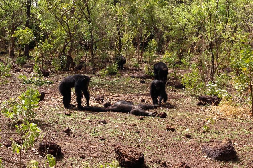 Самцы шимпанзе умёртвого тела Фудуко