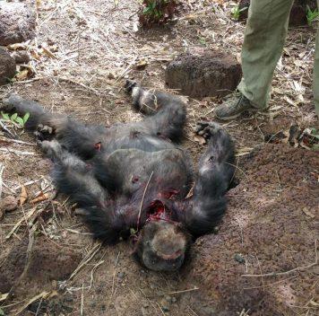 Шимпанзе убили ичастично съели бывшего вожака
