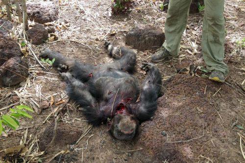 Тело шимпанзе Фудуко поздним утром 15 июня 2013 года.