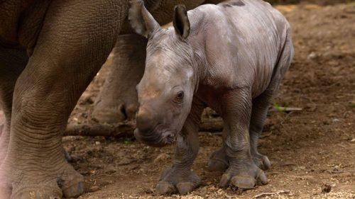 Белый носорог Рами
