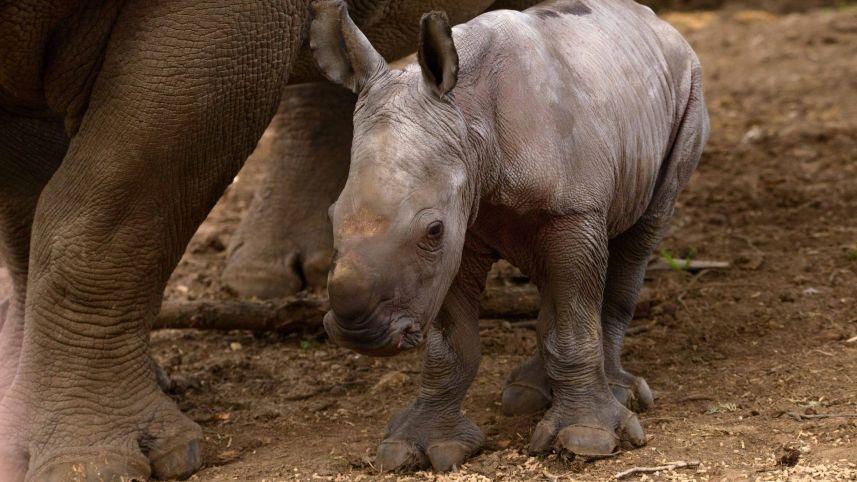 Белый носорог Рами.