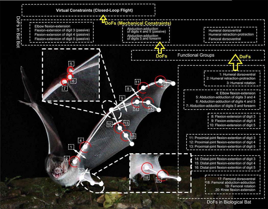 Структуры, обеспечивающие полёт летучей мыши.