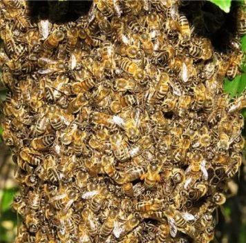 «Пчелиная карта» США— дикие пчёлы вопасности