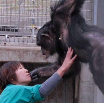 Описан второй случай «синдрома Дауна» ушимпанзе
