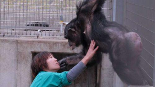 Канако практически неконтактирует сдругими обезьянами, но охотно взаимодействует слюдьми.