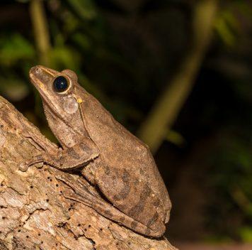 Лягушки ижабы— обладатели уникального для позвоночных цветового зрения