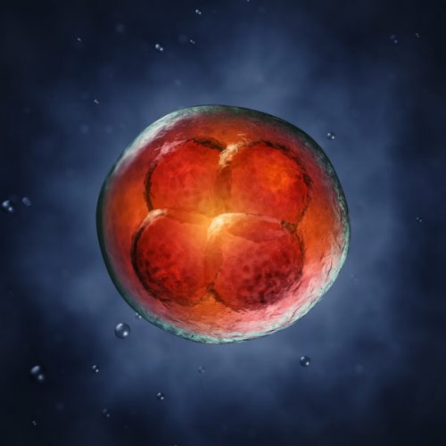 Ранее считалось, что клетки, возникающие врезультате первых делений человеческого зародыша, абсолютно равнозначны. По всей видимости, это несовсем так.