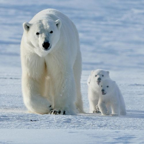 Белая медведица смедвежатами