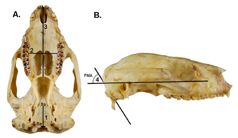 1. Расстояние «<i>базион— сфенобазион</i>» (<i>Ba</i>— <i>Sp</i>) начерепе млекопитающего 4. FMA— угол наклона большого затылочного отверстия.