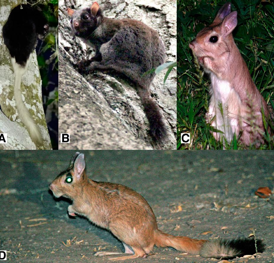 Представители подотряда шипохвостообразных: А, B— планирующие / четвероногие шипохвосты; C,D— двуногие долгоноги