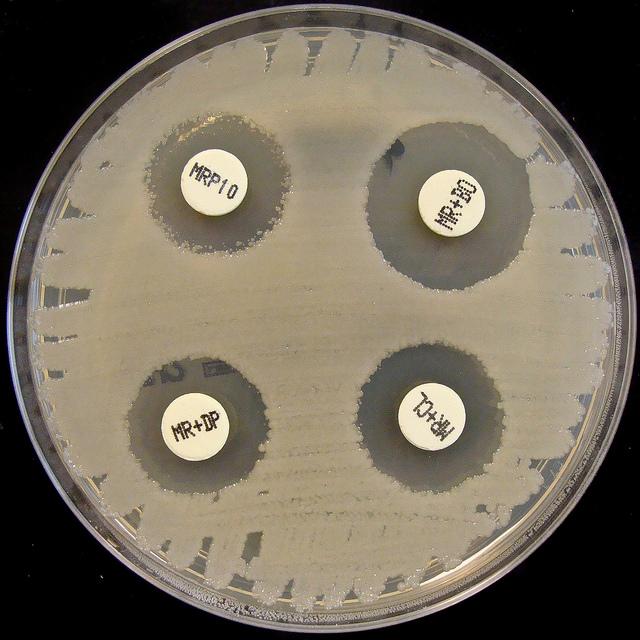 Бактерия <i>Klebsiella pneumoniae</i>: тест наустойчивость кантибиотикам.
