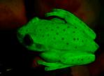 Древесная лягушка Hypsiboas punctatus — первая известная флуоресцирующая амфибия.