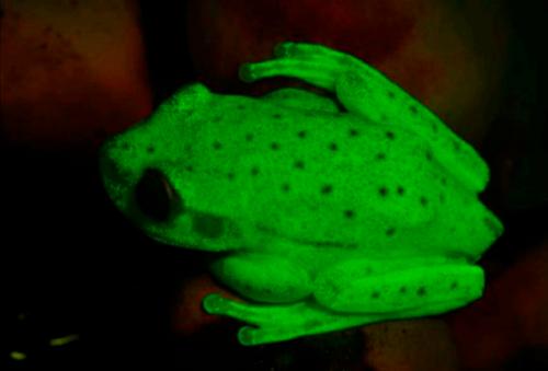 Древесная лягушка Hypsiboas punctatus— первая известная флуоресцирующая амфибия.