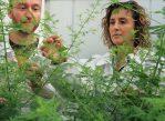 Сорайя Пелаз наблюдает за ростом полыни в теплице Центра исследований агрономической геномики.