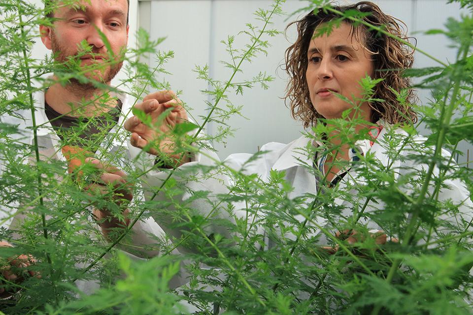 Сорайя Пелаз наблюдает за ростом полыни втеплице Центра исследований агрономической геномики.