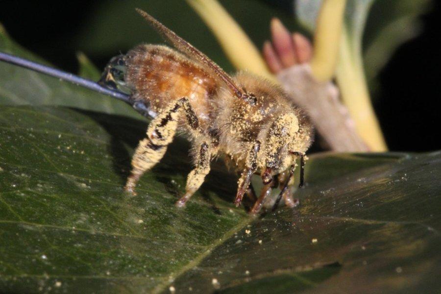 """Пчела """"на привязи"""", покрытая цветочной пыльцой."""