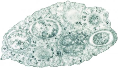 Электронная микрофотография Wolbachia внутри клетки насекомого.