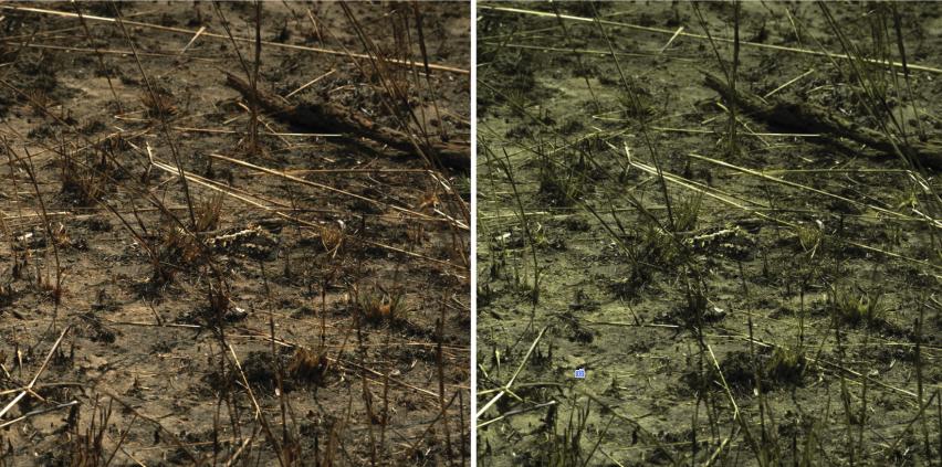 Видишь козодоя? Аон есть! Оригинальное трихроматическое (слева) иизменённое дихроматическое (справа) изображение.