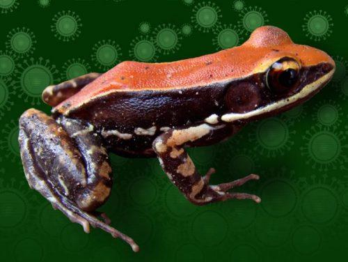 В слизи лягушек вида Hydrophylax bahuvistara содержатся пептиды, эффективные вотношении некоторых штаммов гриппа.