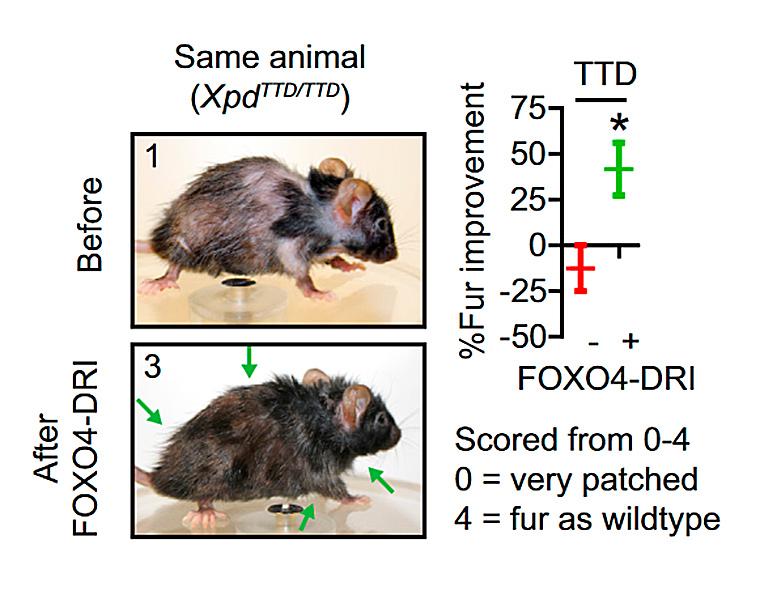 Одно ито же животное до ипосле терапии новым пептидом. Поредевшая шерсть сменилась густой иблестящей.