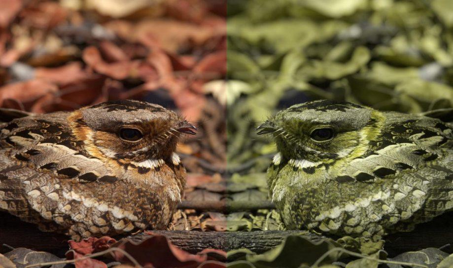 Козодой глазами трихромата (слева) идихромата (справа).