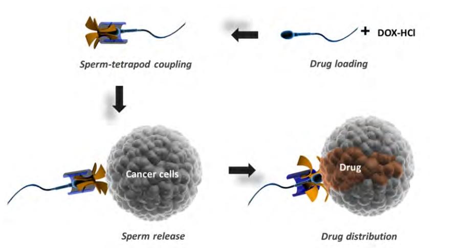 Доставка лекарственных средств спомощью сперматозоидов: 1. Загрузка лекарства. 2. Соединение сперматозоида со «шлемом». 3. Высвобождение сперматозоида при встрече сраковой клеткой. 4. Распространение лекарства.