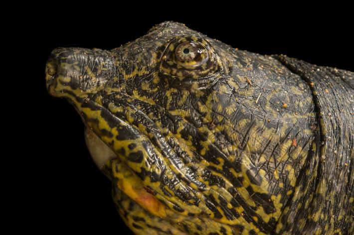 Самка гигантской мягкотелой черепахи. Возможно, последняя представительница своего вида, способная откладывать яйца.