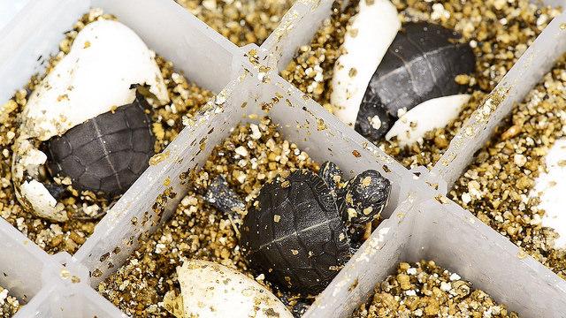 Расписные черепахи