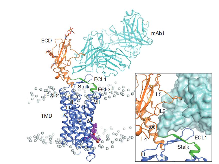 Трёхмерная модель глюкагонового рецептора.