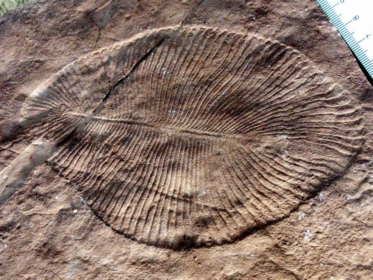 Отпечаток дикинсонии, одного из самых древних животных.