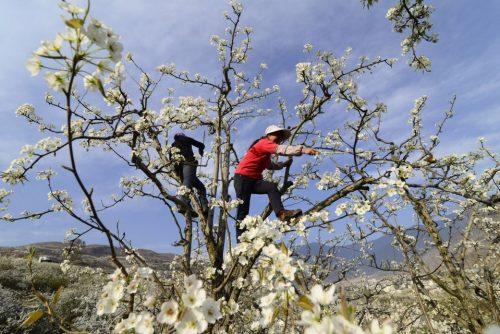 Опыление яблонь