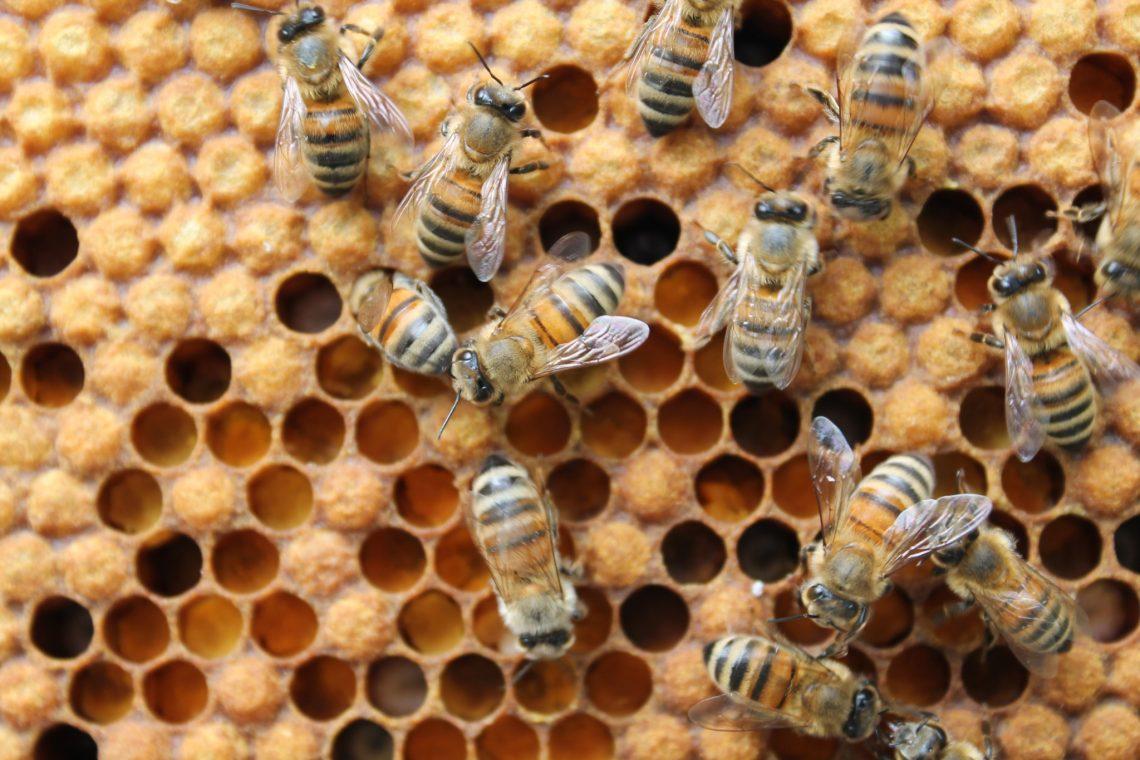 Пчёлы иперга